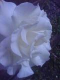 080629_0435~美しさを保つ晩年のフレンチレース.jpg