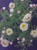 090226_2007~花かんざし.jpg
