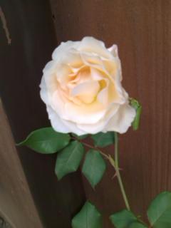 091129_0956~白薔薇.jpg