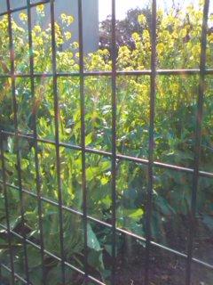0329_1508 菜の花.jpg